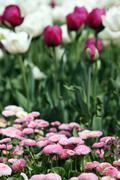 Daisy and tulip flower garden spring season Stock Photos