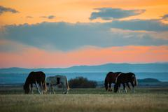 Beautiful bay horse herd grazes in the mountains at sunset, amazing hipster Stock Photos