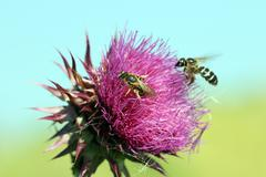 two bees on flower spring season - stock photo