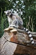 Watchful ring-tailed lemur sitting on the tree trunk Stock Photos
