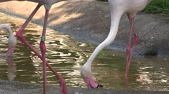 ULTRA HD 4K Closeup detail African Flamingo bird long neck leg drink water river Stock Footage