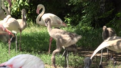 ULTRA HD 4K Colony African Flamingo eat green grass pasture mature baby bird day Stock Footage