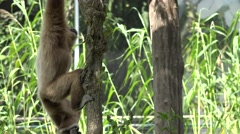 ULTRA HD 4K Cute African monkey hang tree branch relax natural habitat wildness Stock Footage