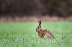 Brown hare - stock photo