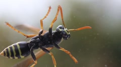 Wasp crawling on the glass Stock Footage