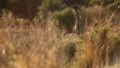 Young giraffe walking through Namibia bush Stock Footage