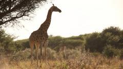 Adult giraffe standing in Namibian bush Stock Footage