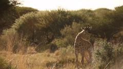 Young giraffe Namibian bush Stock Footage