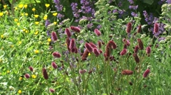 Herb garden in bloom Sanguisorba officinalis (great burnet) + Salvia officinalis Stock Footage