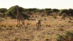 Adult giraffe and young giraffe in Namibian bush Stock Footage