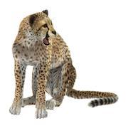 Cheetah Piirros