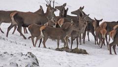 4k european red deer (cervus elaphus) on snow, uhd stock video Stock Footage
