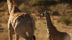 Stock Video Footage of Adult giraffe walks past young giraffe