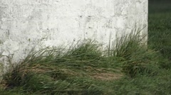 Grass buffeted against wall in windy weather Stock Footage