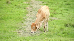 Cattle Cows bull eating Stock Footage