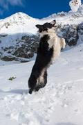 beautiful border collie plays with the snow on the mountain - stock photo
