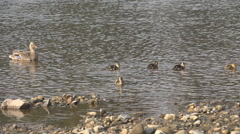 Beautiful duck family relax water river baby female wildlife birdwatching sunny  Stock Footage