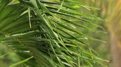 Video 1920x1080 - Tropical rain drops falling on the large palm leaves Stock Footage
