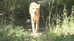 Cheetah feline walk green grass hunt hot summer daytime african habitat wildlife Stock Footage