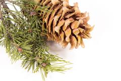the cedar cone with a branch - stock photo