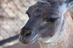 Lama portrait - stock photo