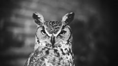 Owl in b&w - stock footage