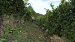 Workers in field of wine grape Stock Footage