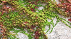 Leaves of the ivy curling on a wall wave on a wind Stock Footage