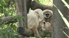 Cute gibbon couple relax sitting tree branch monkey animal wildlife daytime ape  Stock Footage