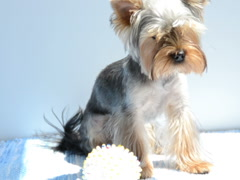 Short-haired Yorkshire terrier. Related clips are in my portfolio in 1920x1080. Stock Footage