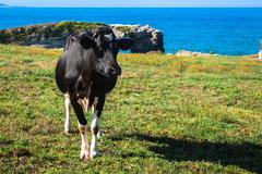 spanish milk cow in the seaside farm, asturias, spain - stock photo