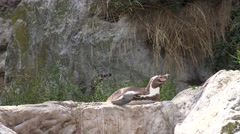 ULTRA HD 4K Penguin animal relax beach stone lying rock sunny day sitting wild  Stock Footage