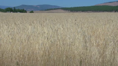 Wheat field wide shot Stock Footage