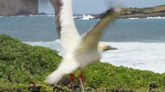 Red footed Booby bird flying Stock Footage