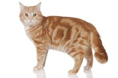 red domestic cat standing sideways - stock photo