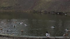 Ducks are swimming in the pond Stock Footage
