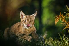 sweet-toothed eurasian lynx  in forest with fern and colorful grass - stock photo