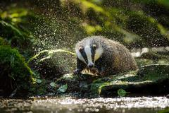 european badger shaking and splashing water drops around - stock photo
