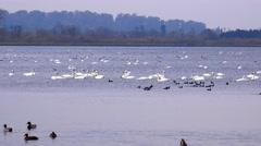 Wildlife flock of swans birds on lake nature background Stock Footage