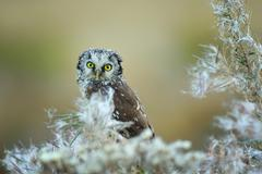 Boreal owl with fuzz down on straw Stock Photos