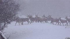 4k group of whitetail deer mature bucks, january winter snow blizzard, uhd st Stock Footage