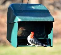 red-bellied woodpecker - stock photo