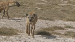 A Hyena Lays Down Stock Footage