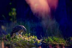 northern goshawk on the ground with magical colors - stock photo