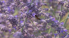 Slo-mo (240fps) bee pollinate Russian sage #2 Stock Footage