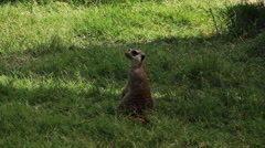 Curious Meerkat On Park Stock Footage
