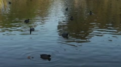 Aerial Shot of Ducks Swimming Stock Footage