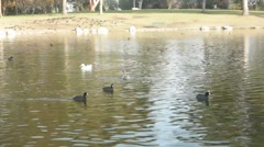 Beautiful Lake Cove with Ducks Swimming in Line Stock Footage