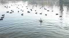 Ducks Waddling in a Lake Stock Footage
