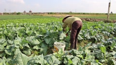 vegetable fields, workers irrigation for crops - stock footage